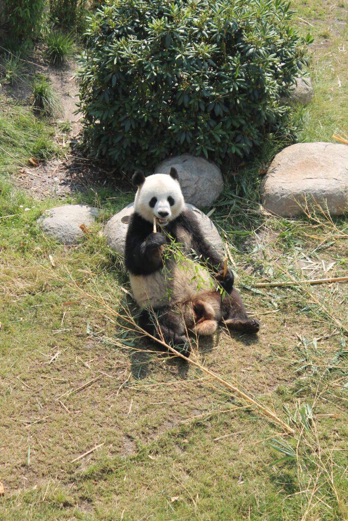 Zoologisk Have Pandaer
